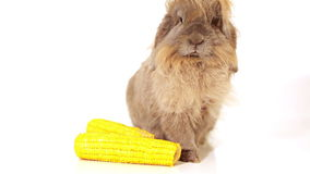 Rabbit with yellow corn on white stock video