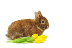 Rabbit with yellow tulips Stock Images