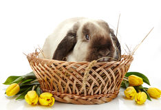 Rabbit and yellow tulips Stock Photography
