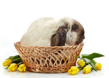 Rabbit and yellow tulips Royalty Free Stock Image