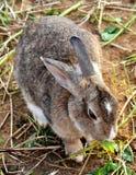 Rabbit, Yomitan Village, Okinawa Japan. This photo was taken December 2010. A rabbit grazing near Cape Zampa Okinawa, Japan stock photography