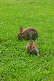 Rabbit. Young rabbits eating in green field royalty free stock photos