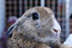 Rabbit01. Picture of rabbit as pet, belongs to my elder brother's family Royalty Free Stock Image