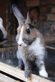 Rabbit03. Picture of rabbits as pet, belongs to my elder brother's family Royalty Free Stock Photos