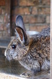 Rabbit04. Picture of rabbits as pet, belongs to my elder brother's family Stock Image