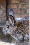 Rabbit04 Stock Image
