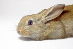 Rabbit13 Fotografia Stock