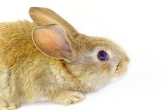 Rabbit18 Immagine Stock