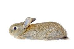 Rabbit19 Immagini Stock