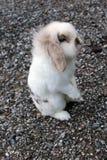 Rabbita 免版税库存照片