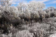Rabbitbrush and Sagebrush Frosted Over Royalty Free Stock Images