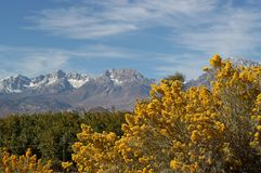 Rabbitbrush with Sierra Mountains Royalty Free Stock Image