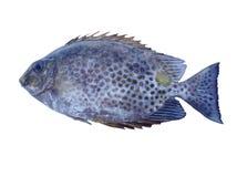 Rabbitfish που απομονώνεται Στοκ φωτογραφίες με δικαίωμα ελεύθερης χρήσης