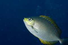 Rabbitfish Royalty Free Stock Photos