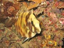 Rabbitfish Royalty-vrije Stock Foto's