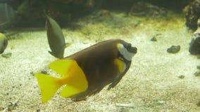 Rabbitfish in Aquarium stock videobeelden