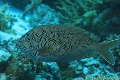 Rabbitfish Brown-repéré de Spinefoot Image libre de droits