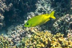 Rabbitfish de Blackeye Imagem de Stock Royalty Free