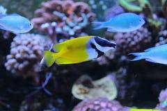 Rabbitfish de Foxface Imagem de Stock