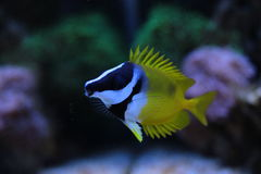 Rabbitfish de Foxface imagem de stock royalty free