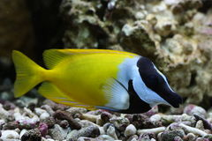 Rabbitfish de Foxface Photo stock