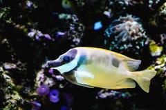 Rabbitfish de Foxface Image stock