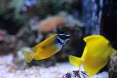 Rabbitfish de Foxface dans le réservoir d'aquarium de récif coralien Image stock