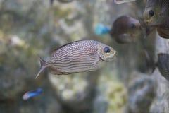 Rabbitfish de Java ou spinefish de Bluespotted ou spinefoot strié Photos libres de droits
