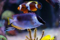 Rabbitfish magnífico do foxface Fotografia de Stock