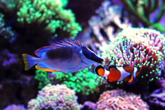 Rabbitfish magnifique de foxface Images stock
