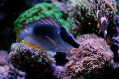 Rabbitfish magnifique de foxface Photographie stock libre de droits