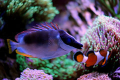 Rabbitfish magnifique de foxface Image libre de droits