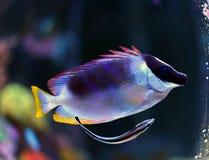 Rabbitfish magnifique de foxface Photos stock