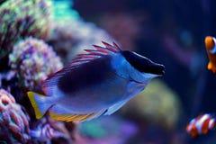 Rabbitfish magnifique de foxface Photos libres de droits