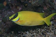 Rabbitfish masqué Photos stock