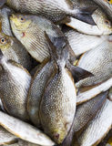 Rabbit Fish Royalty Free Stock Image