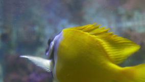 Rabbitfish in Water. Close up shot of a beautiful tropical rabbitfish swimming near the water surface stock footage