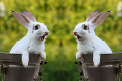 Rabbits. Two white rabbit on nature Royalty Free Stock Images