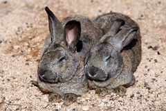 Rabbits. Two rabbits resting in the sun Stock Photography