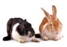 Rabbits. Cute domestic rabbits on white royalty free stock photo