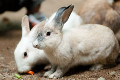 Rabbits. Photo of rabbits taken at a private zoo Stock Image