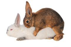Rabbits Stock Image