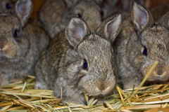 Rabbits 3. Portrait of a small eared rabbits Royalty Free Stock Images