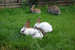 Rabbits. Pets, domestic, animal, mammals royalty free stock photos