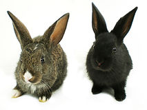 Rabbits. Two rabbits isolated on white background Royalty Free Stock Photography