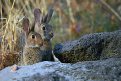Rabbits. Two rabbits Stock Photo