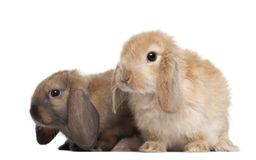 Rabbits against white background Stock Images