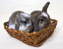 Rabbits in a basket. Two little rabbits cuddled in a wicker basket.  White background Royalty Free Stock Image