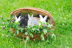 Rabbits in a basket. Multi-colored rabbits in a basket with grass Royalty Free Stock Photos
