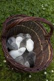 Rabbits in  basket Royalty Free Stock Photo
